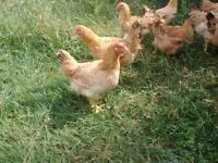 Chicken, free-range, organic fed, French broilers