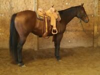 15.1 HAND-14 YEAR OLD GELDING-- VERY WELL BROKE RANCH HORSE