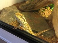Alan needs a new home. Baby Bearded Dragon