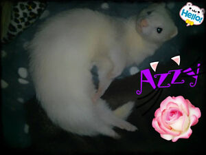 3 year old white female ferret with or without cage.