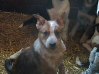 Border collie Heeler cross male pups