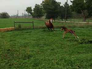Horse Boarding - Baden Kitchener / Waterloo Kitchener Area image 4