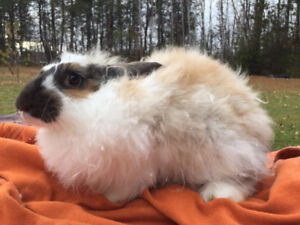 French angora rabbits for sale.
