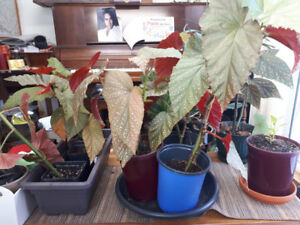 Clones For Sale   Kijiji in Barrie  - Buy, Sell & Save with Canada's