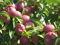Picked McIntosh Apples For Sale