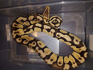 Male and female Ball Python