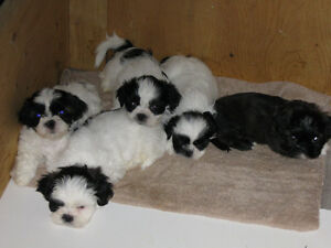 Shitzu Puppies with first shots given