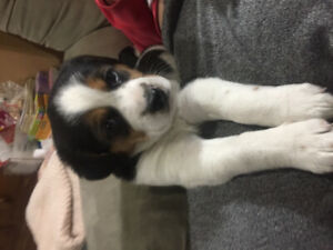 Adorable medium sized mixed breed puppies for rehoming !