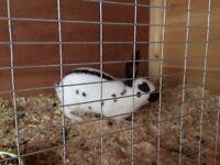 Baby English Rabbits
