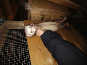 4 ferrets to go to good home(s)