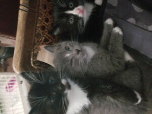 Beautiful tuxedo kittens ready for their fur-ever home