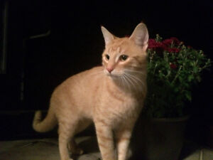 Male orange cat