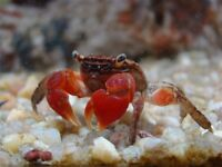 Red Claw Crab for tropical aquarium Current size is 1 inch