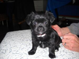 SHORKIE ( YORKIE /SHIZU MIX )