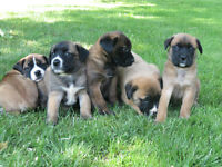 Beautiful English Mastiff Puppies