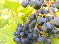 Help wanted! Grape picking  wine making