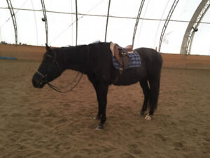16.1 HH Gelding For Sale Lease or Part Board