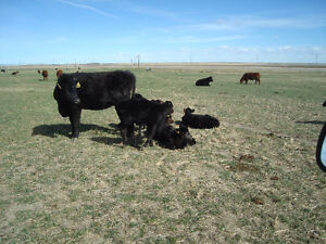 BLACK ANGUS HEIFERS / CALVES