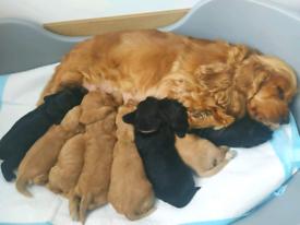 Cocker Spaniels Puppys