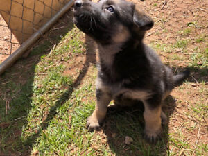 ONLY ONE FEMALE LEFT! Selling German Shepherd Puppies