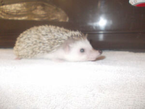 baby tame hedgehogs