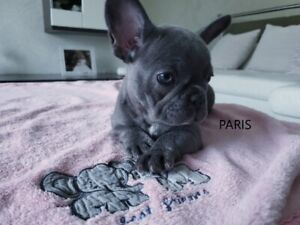 French Bulldog | Adopt Dogs & Puppies Locally in Calgary