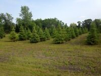 Landscaping trees for transplanting this fall