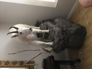 Beautiful B.C. Rocky Mountain billy goat for sale.