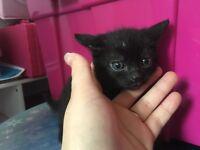 2 kittens for sale 1 boy 1 girl