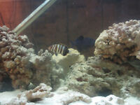 Harlequin Tusk,Bodianus hogfish,Golden Travelly--fish,poisson