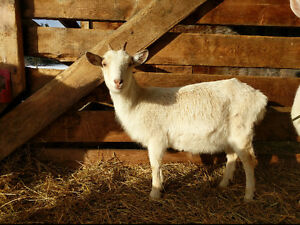 SaanenX Doeling Goat for Sale