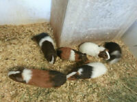Guinea Pigs, many colour variations