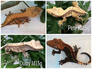 Crested geckos - sub adults