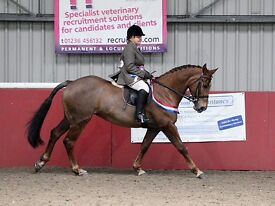 15.2hh Irish Draught x mare for sale