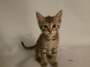 Beautiful Tabby Kittens - You must Love cats - 306 290 1177