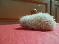 Friendly baby hedgehog with home and accessories