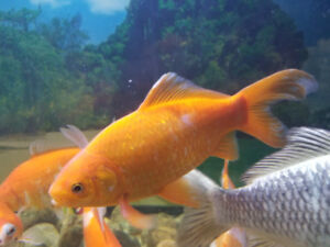 Large gold fish for sale
