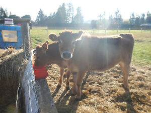 TRADE 2 Jersey steer For Meat
