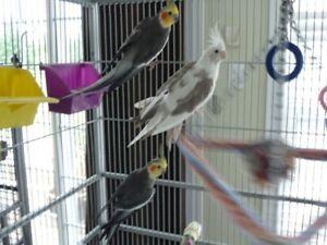 Three Cockatiels