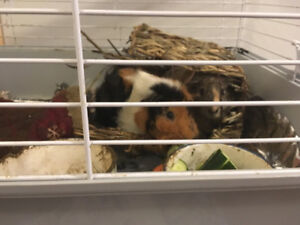 Guinea pigs to give