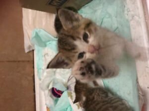 One male kitten left to sell   Has been to vet.has been dewormed