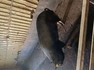 Sows for sale 150 each