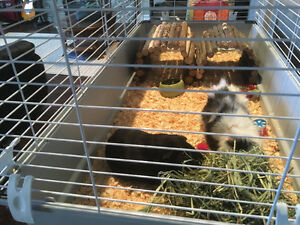 Free guinea pigs, looking for a good home