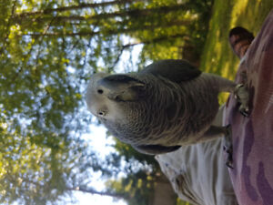 Male African grey parrot 4 sale