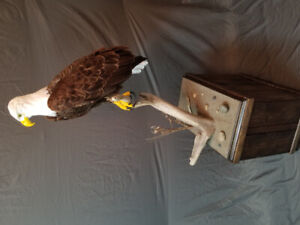 Bald Eagle Re-creation Taxidermy Mount