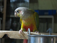 Two 2 year old Pineapple Green-Cheek Female Conures