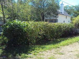 TREE SERVICE  REMOVALS & PRUNING (780) 421-8282 Edmonton Edmonton Area image 7