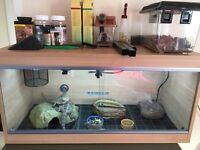 Two bearded dragons and vivarium set-up