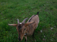 Selling - Male Goat