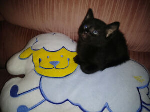 Chatons Abyssin X domestique